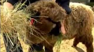 Download Understanding & Raising Sheep : How to Feed Sheep Video