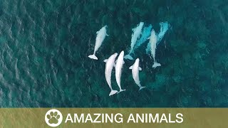 Download Rare Giant Beluga Whales Spotted Video