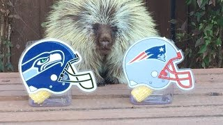 Download Teddy Bear the Porcupine Predicts Super Bowl XLIX Winner Video