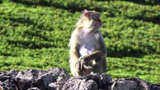 Download 4K 雷鳥のヒナを捕食するニホンザル Video