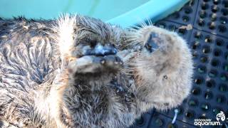 Download Rescued Sea Otter Munches His Clams Video