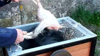 Download chicken plucker Video