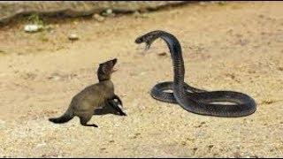 Download Mongoose Vs Python - Big Battlee - Moments Of Wild Animal Fights Video