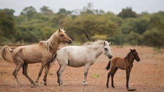 Download Wild Horses and Buffaloes of Doro Ncanga, Sumbawa(HD) Video