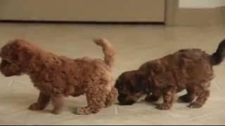 Download Havapoo Puppies For Sale Video