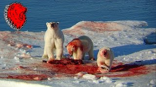 Download Oso Polar y Ballenas Asesinas (National Geographic) Video
