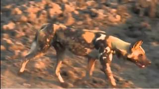 Download Nov 13 WildEarth Sunset Safari LIVE Elephants chasing wild dogs!! Video