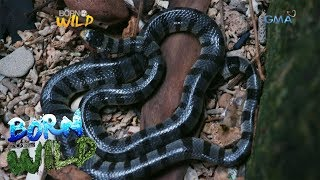 Download Born to Be Wild: Observing the Banded Sea Krait on a snake island Video