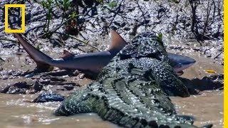 Download Un crocodile se bat contre un requin-bouledogue Video