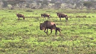 Download Serengeti, Wildebeest Migration / Gnu-Migration Video