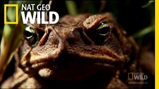 Download Venomous Cane Toads   Nat Geo Wild Video