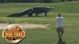 Download GIANT ALLIGATOR ON GOLF COURSE - real or fake? Video