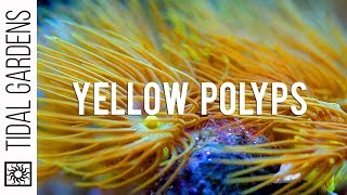 Download Yellow Parazoanthus Polyps Coral Care Tips Video