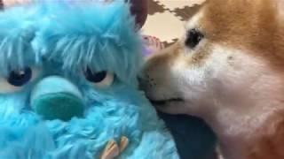 Download 柴犬リキ♡ 超焼きもち! ママとサリーの仲を邪魔するワンコ☆ Video