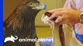 Download How To Safely & Successfully Catch A Golden Eagle   The Zoo Video