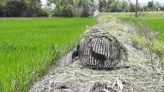 Download ต่อนกอิลุ้ม9 ช่างเป้ง รองนกไหม่ตัวเมียนก3ปี Video