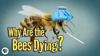 Download Why Are The Bees Dying? Video