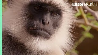 Download Scarface Fights Off Other Monkeys | Life Story | BBC Video