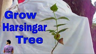 Download हारसिंगार का पेड़ कैसे लगाए /How to Grow & Care Harsingar / Parijaat -18th July 2017/Mammal Bonsai Video
