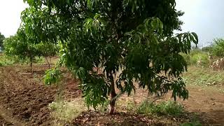 Download Mango tree video for Background HD Video