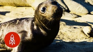 Download Working with Seals to Explore the Deep Video