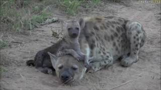 Download Safari Live : Hyena Ribbon and her two playful cubs on March 17, 2017 Video