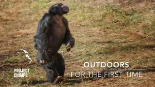 Download Chimps Go Outdoors for the First Time! Video
