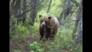 Download Spear Hunting a Grizzly Bear at ground Level Video
