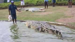 Download big crocodile Papua New Guinea Video
