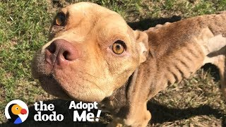 Download Let's Find This Once Malnourished Pittie the Perfect Family! | The Dodo Adopt Me! Video