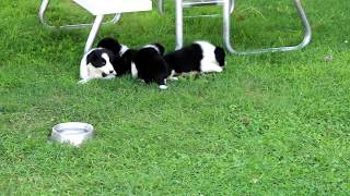 Download Border Collie Puppies For Sale Video
