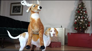 Download Dog Loves Reindeer Gift on Christmas: Cute Dog Maymo Video