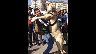Download Anadolu Arslanı Aksaray Malaklı Cinsi Köpek Video