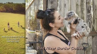 Download New Puppies , Border Collie Puppies. Video