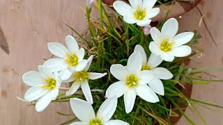 Download How to collect Rain Lily seeds Video