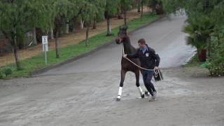 Download How to teach your horse to jog (basic groundwork) Video