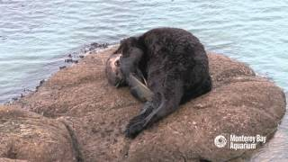 Download Sea otter gives birth outside the Aquarium! Video