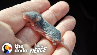 Download Watch The Teeniest Baby Deer Mice Grow Up In 30-Day Time-lapse | The Dodo Little But Fierce Video