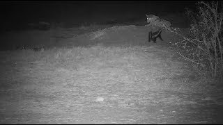 Download Djuma: Honey Badger shows up and sees Tingana Leopard after White-tailed Mongoose - 22:01 - 09/29/19 Video