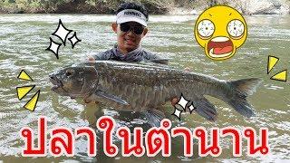Download ตำนานแห่งสายน้ำ ปลาพลวงน้ำเงิน blue mahseer by fishingEZ Video