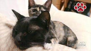 Download 黒猫のくろ 2017 10【瀬戸の黒猫日記】Black cat Kuro is playing November 2017 Cats room Miaou Video