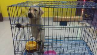 Download LAB PUPPIES FOR SALE IN CHENNAI PET SHOP, CALL 9094315333 Video