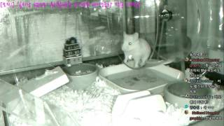 Download [모찌Live] National Hamster graphic (실시간 햄스터 방송 / Hamster Live broadcast) #16-11-28 Video