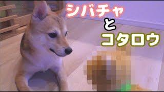 Download 柴犬シバチャ、柴犬コタロウとお友達になる Video