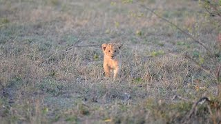 Download Close call as buffalo charges lion cub Video