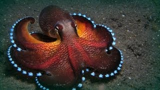 Download The Maldives octopuses Video