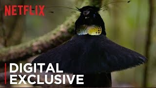 Download Our Planet | Birds Of Paradise | Exclusive Clip | Netflix Video