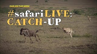Download safariLIVE catch-up: 5 male cheetahs hunt the great migration! Video