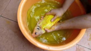 Download TLkmDN Treating VERY Injured Koi (BEWARE: GRAPHIC IMAGES!!!) 28/6/2011 Video