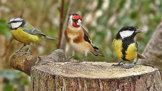 Download Bird Sounds Spectacular : Morning Bird Song Video